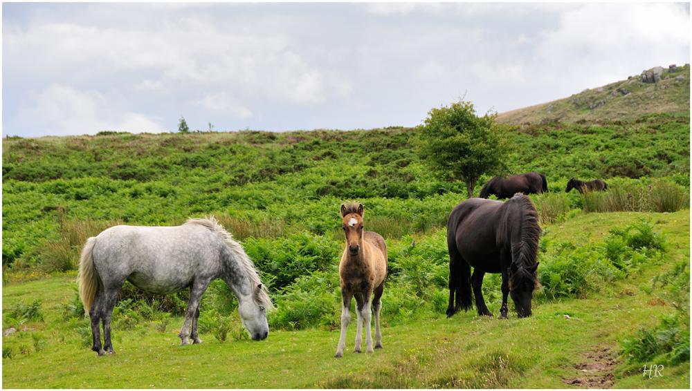 Wildpferde in Dartmoor bei Haytor / Südengland 2
