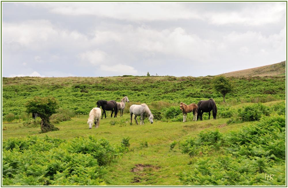 Wildpferde in Dartmoor bei Haytor / Südengland