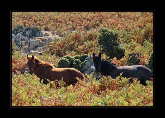 Wildpferde in den Bergen von Lesbos