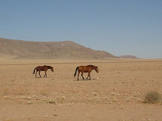 Wildpferde in Namibia
