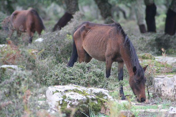 wildpferde in sardinien