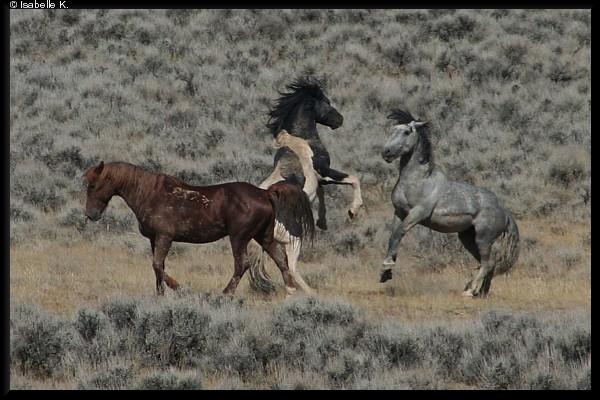 Wildpferde - Mustangs in freier Wildbahn