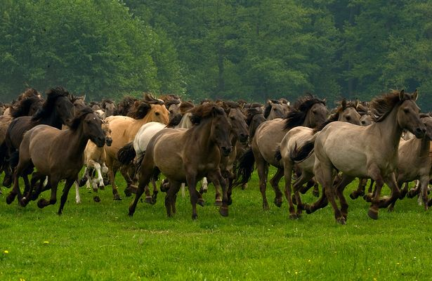 Wildpferdeeinfang - Mehrfelder Bruch