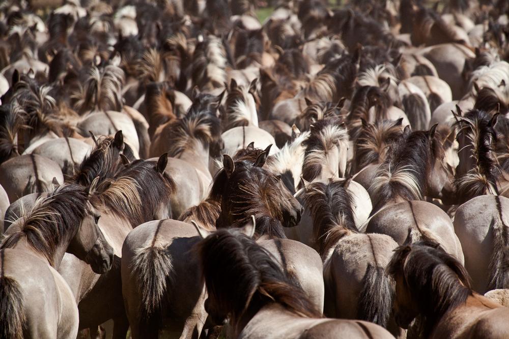 Wildpferdefang im Merfelder Bruch III
