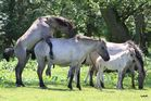 Wildpferdetrieb in Dülmen