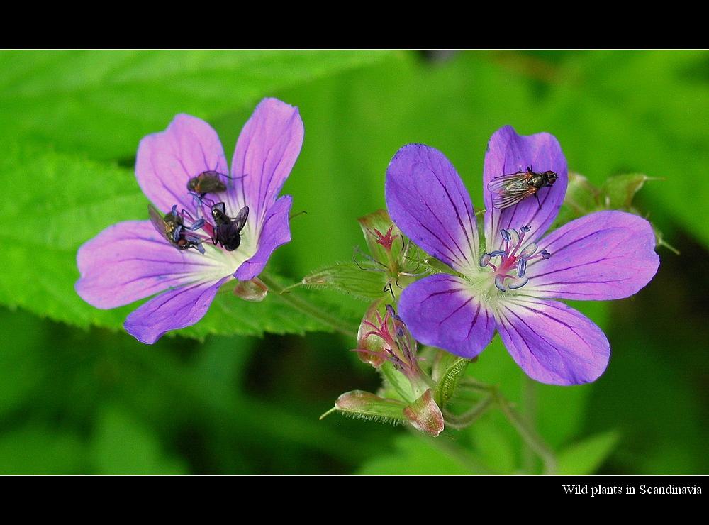 Wild_plants_in_Scandinavia