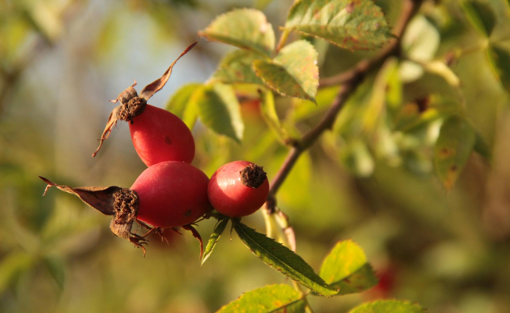 wildrose im Herbst