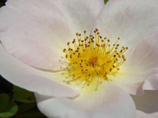 Wildrose, weiss2