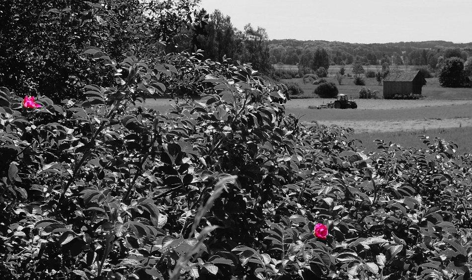 Wildrosen - Feld - Traktor - Filzen
