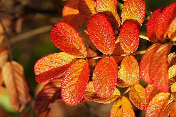 Wildrosenblätter