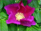 Wildrosenblüte II