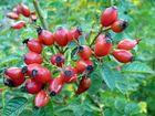 Wildrosenfrüchte, die den Herbst überdauern