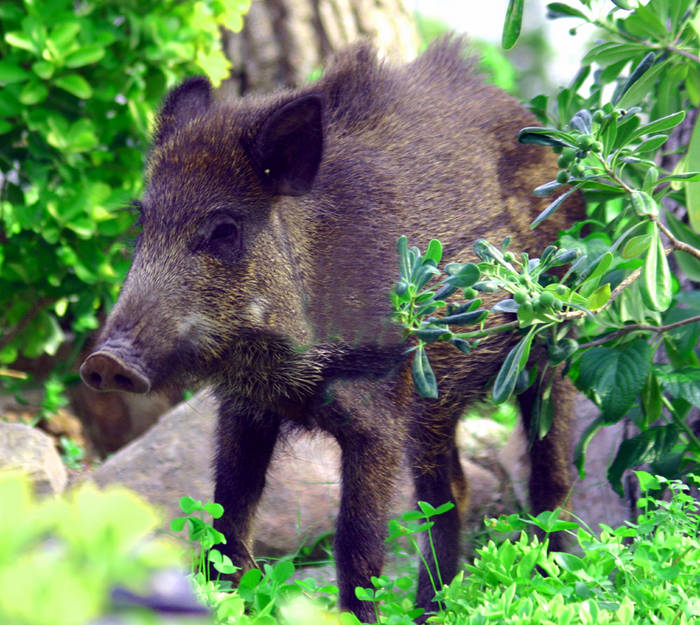 Wildsau in unserm Garten an der Costa Brava
