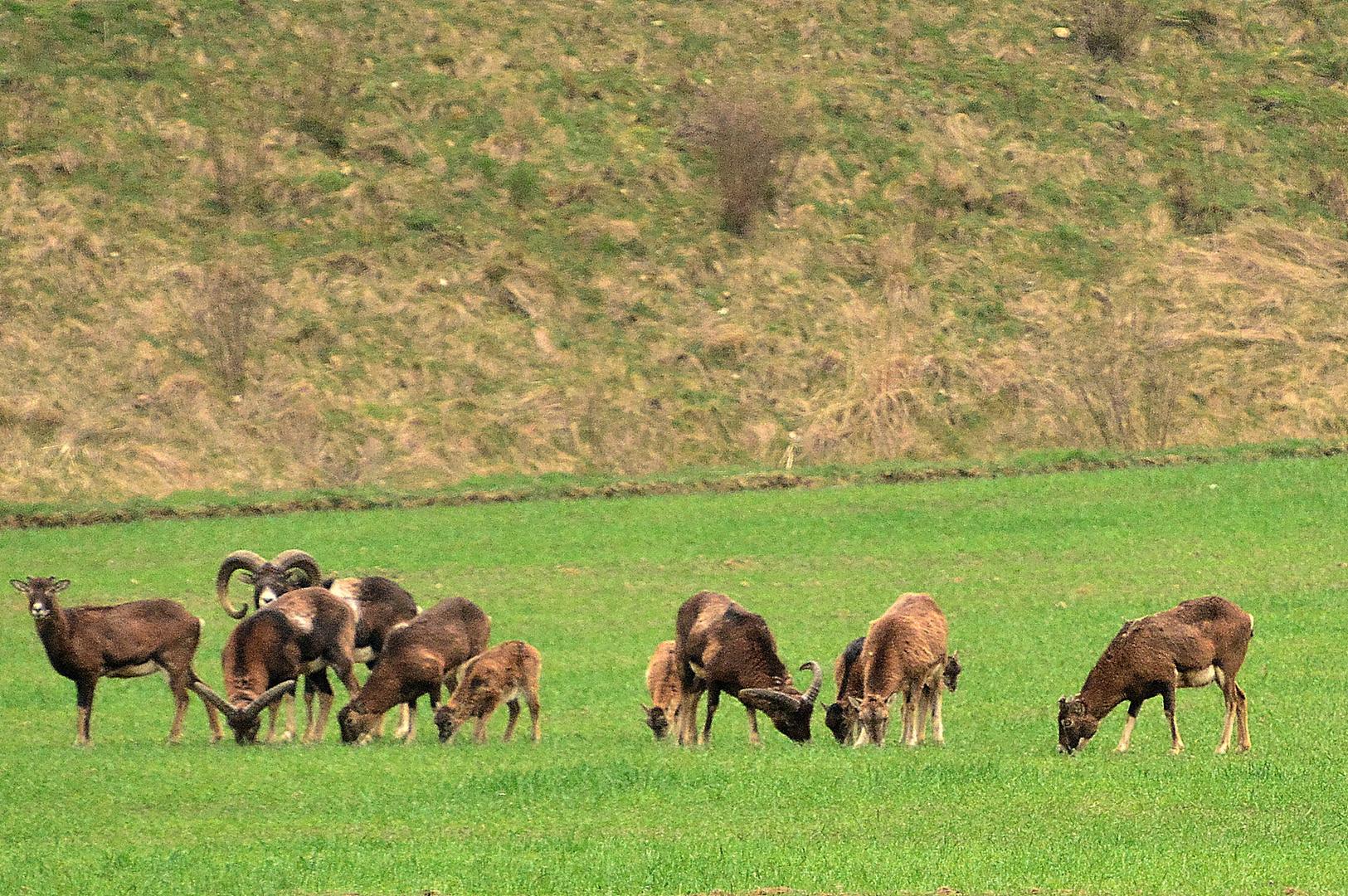 Wildschafe in Schaumburg