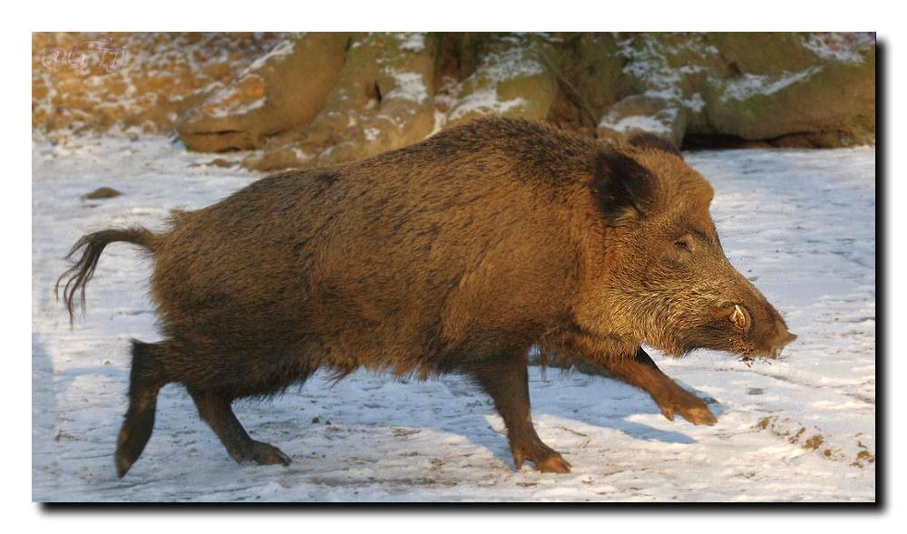 Wildschwein auf der Flucht