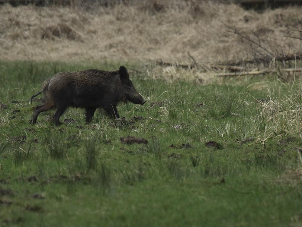 Wildschwein - Bache