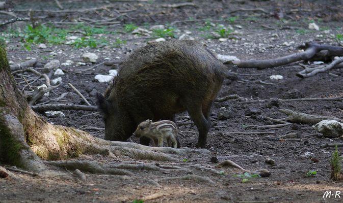 Wildschwein-Bache mit ihrem 14 Tage alten Frischling !