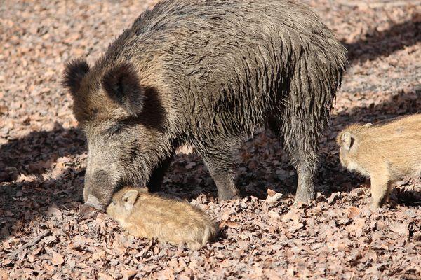 Wildschwein-Familie