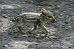 Wildschwein-Frischling
