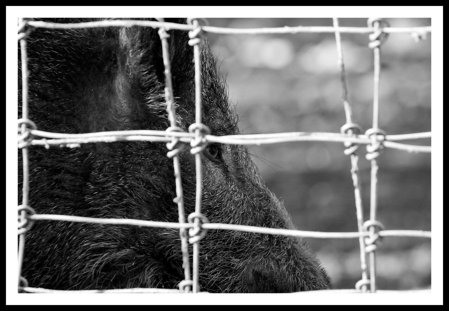 Wildschwein hinter Gitter