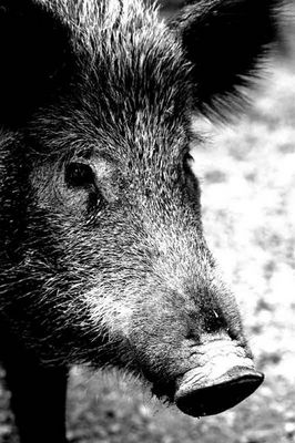 Wildschwein im Nahbereich