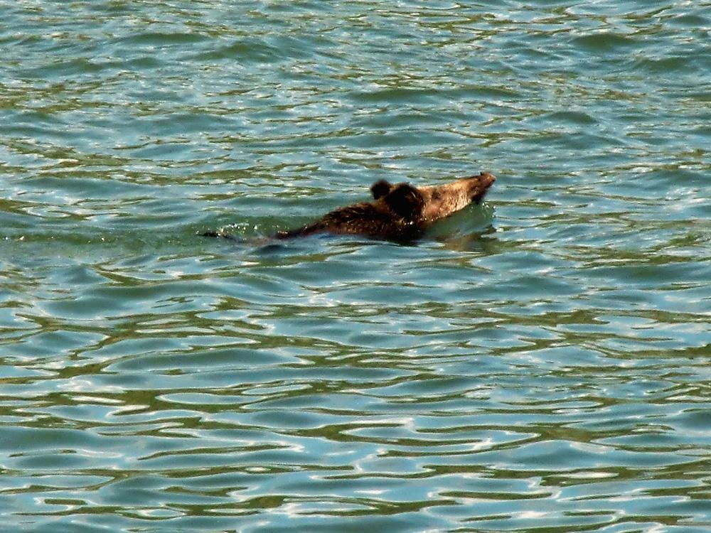 Wildschwein im Rhein