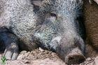 Wildschwein im Wildpark Granat