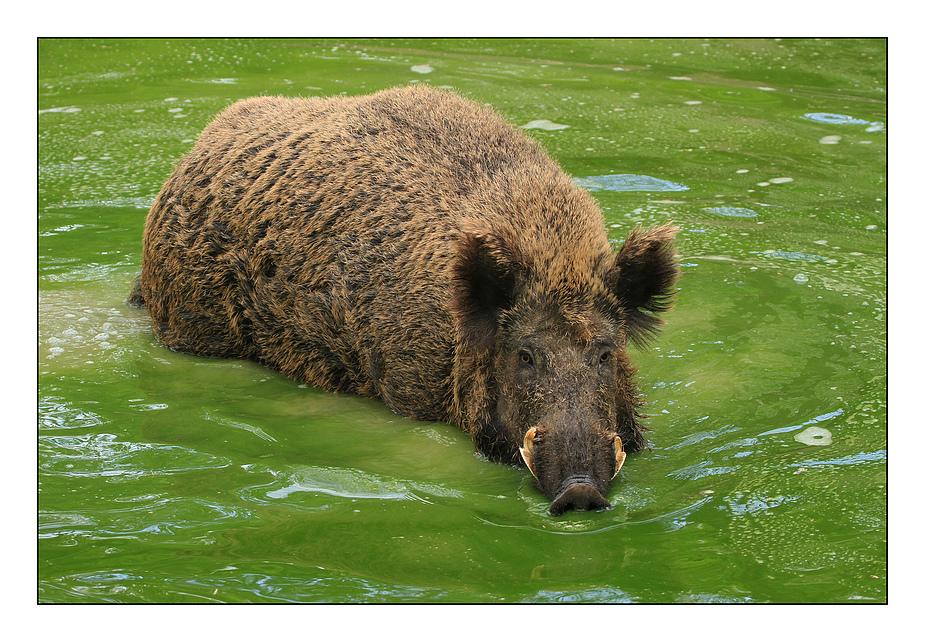 Wildschwein in grüner Soße