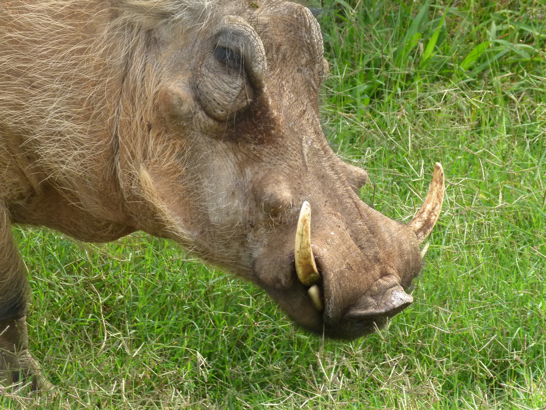 Wildschwein in Suedafrika