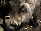 Wildschwein-Keiler