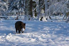 Wildschwein mit Maske