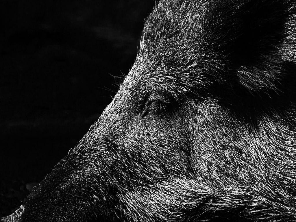 Wildschwein, ruhend
