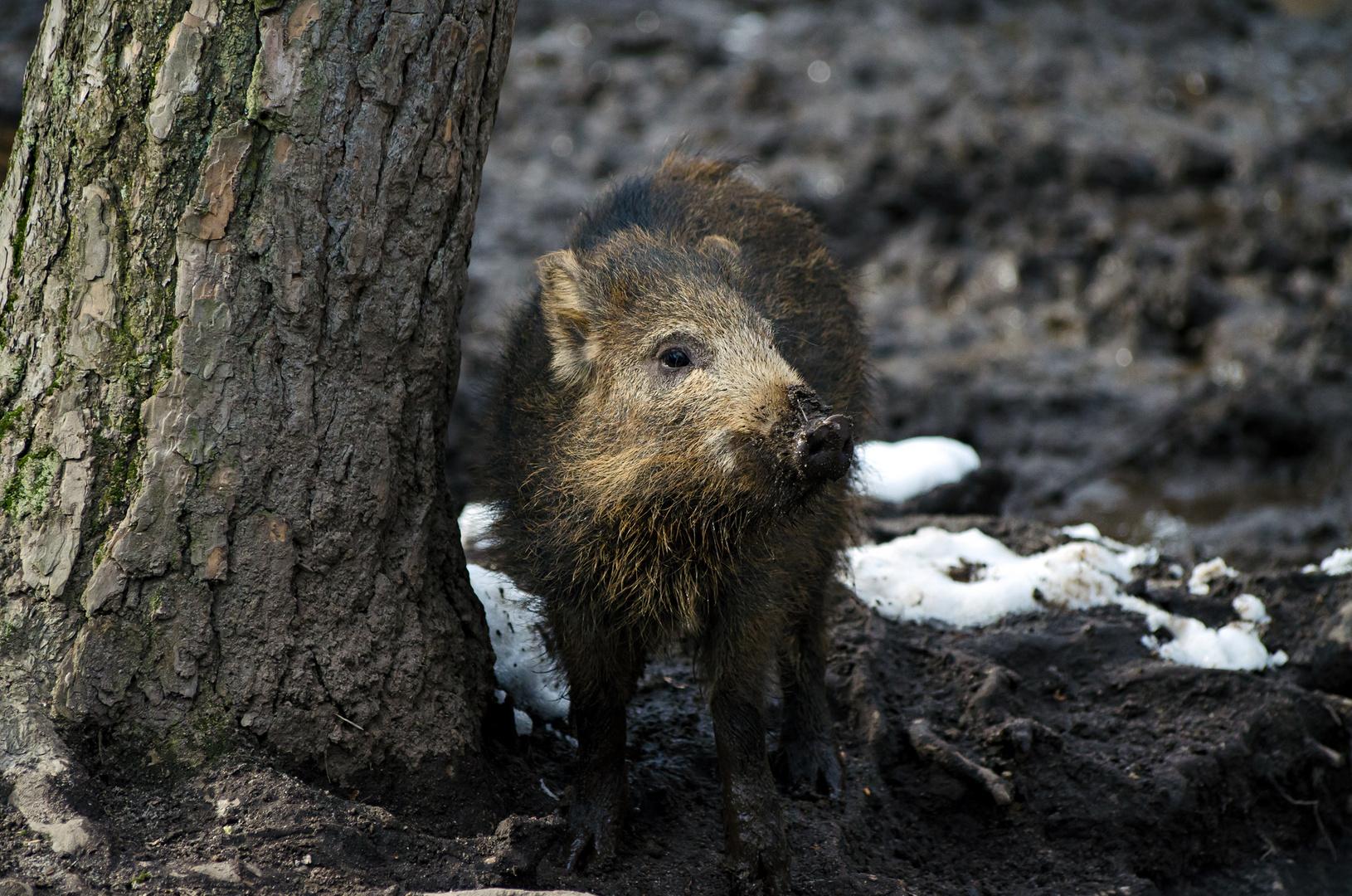 Wildschwein(chen)
