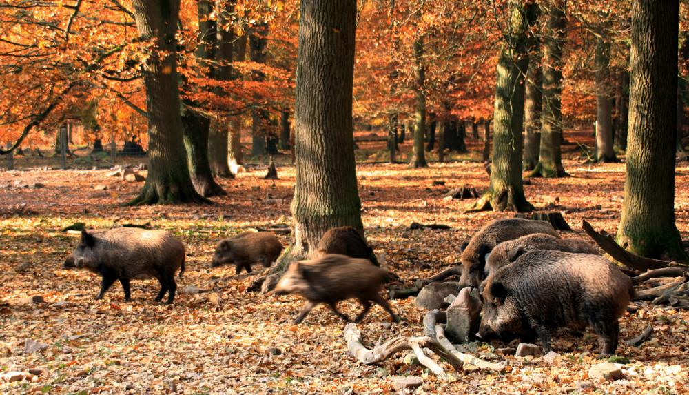 -Wildschweine im Herbstwald-