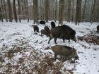 Wildschweine im Reinhardswald