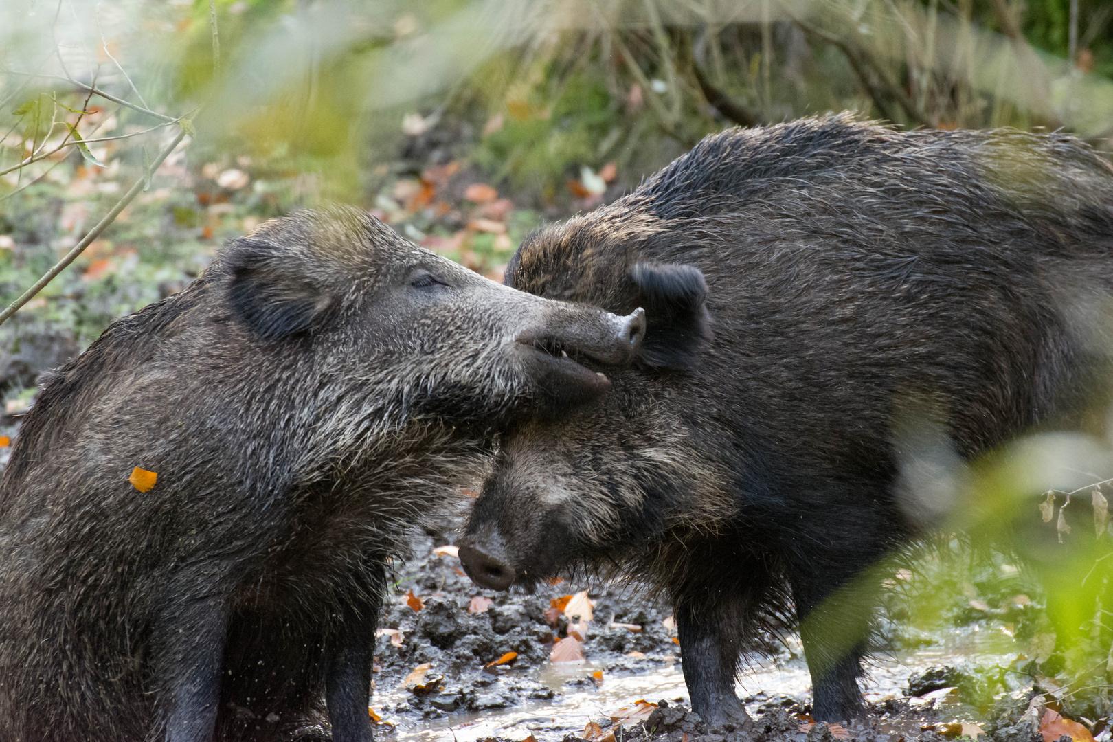 Wildschweine im Sauerland/Alme - 26.10.13