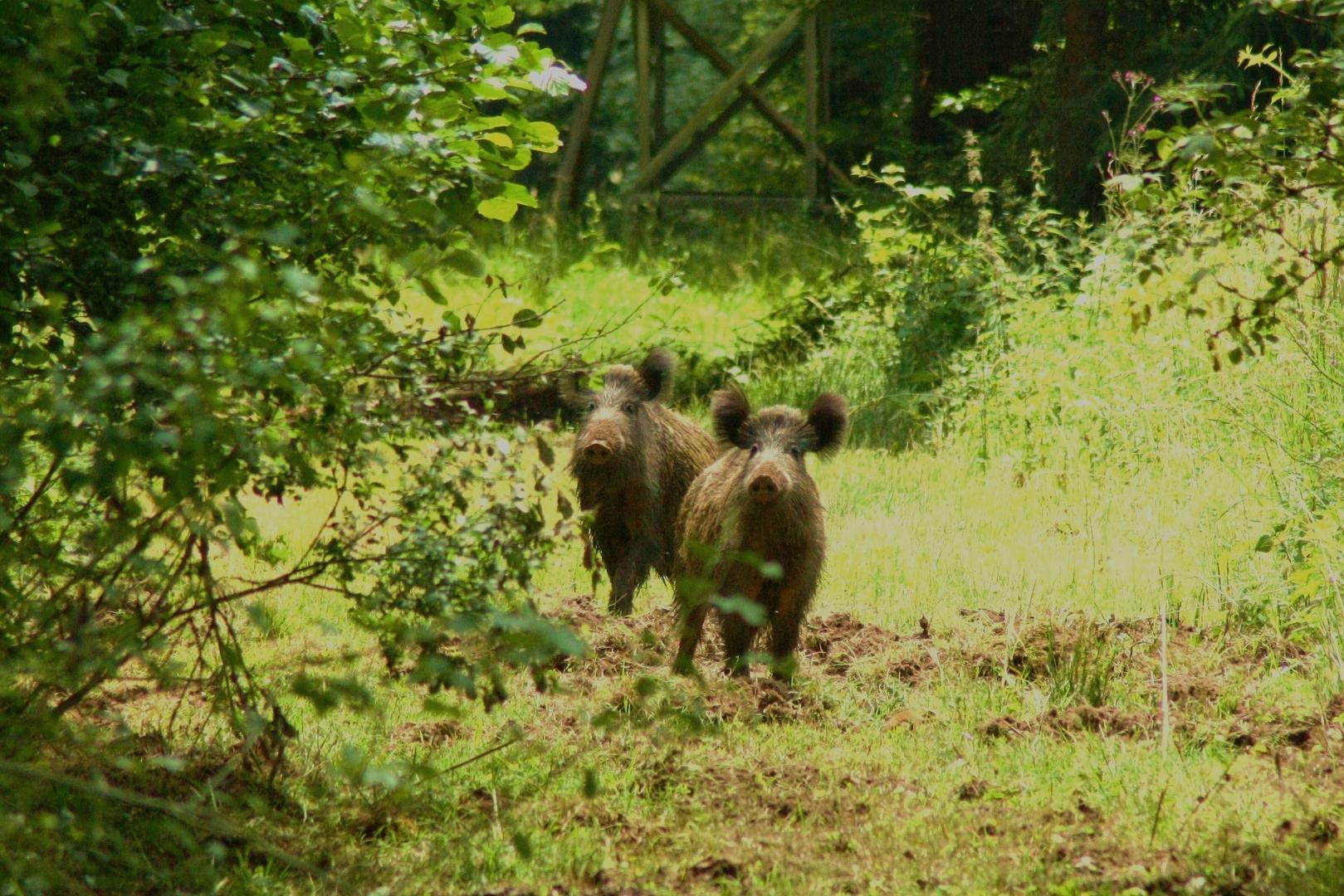 Wildschweine im Schäfer