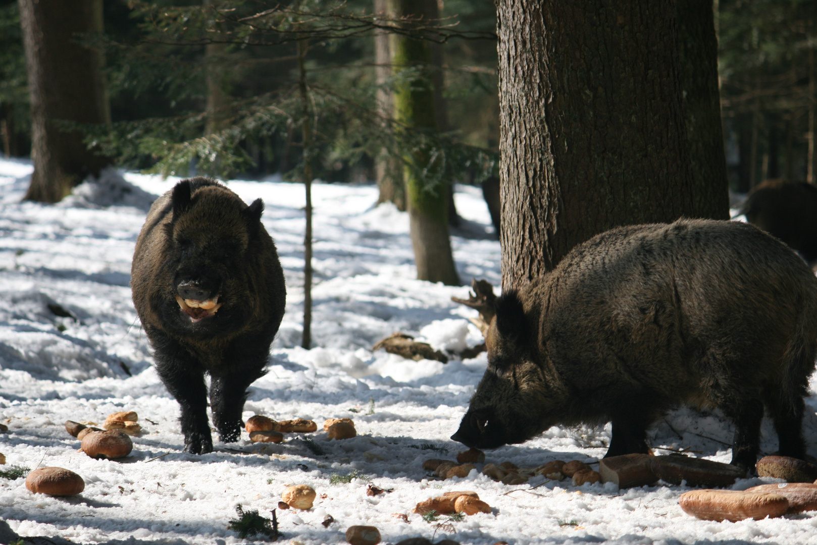 Wildschweine - Nationalpark Bay. wald