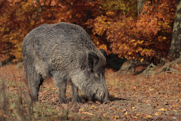 Wildschweinkeiler