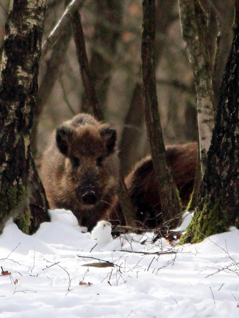 Wildschweinrotte bei Gilsbach