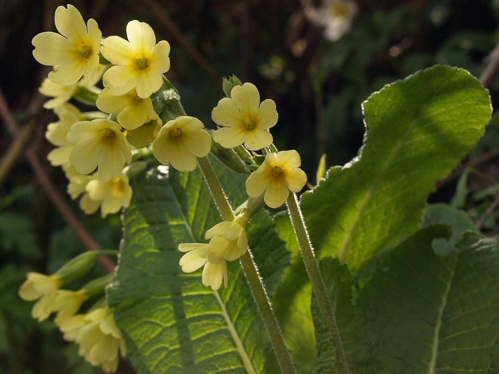 wildwachsend - Primula veris