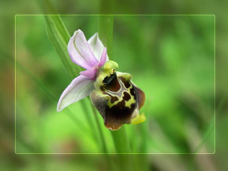Wildwachsende_Orchidee_5633_1