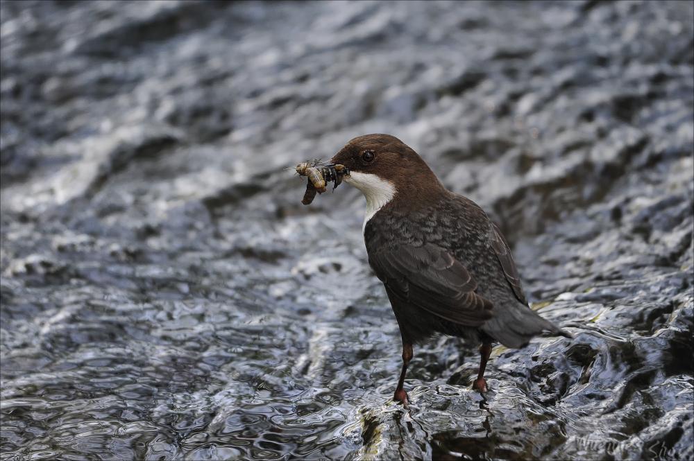 Wildwasser-Vogel