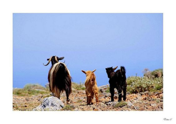 Wildziegen auf Kreta