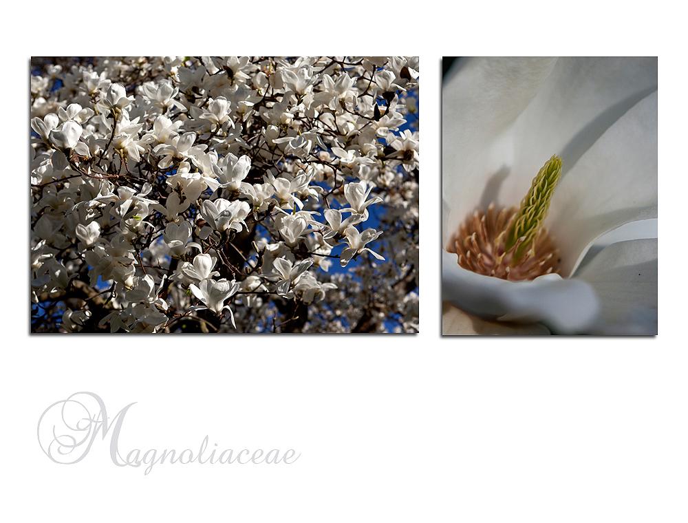 ~ wilhelma magnolienblüte 2011 ~