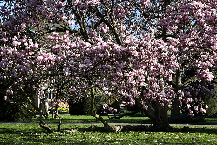 ~ wilhelma magnolienblüte 2011- I ~