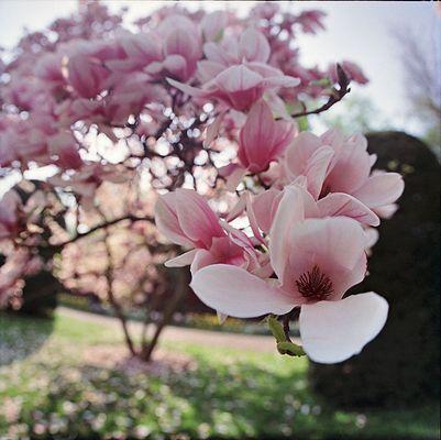 Wilhelma Magnolienblüte