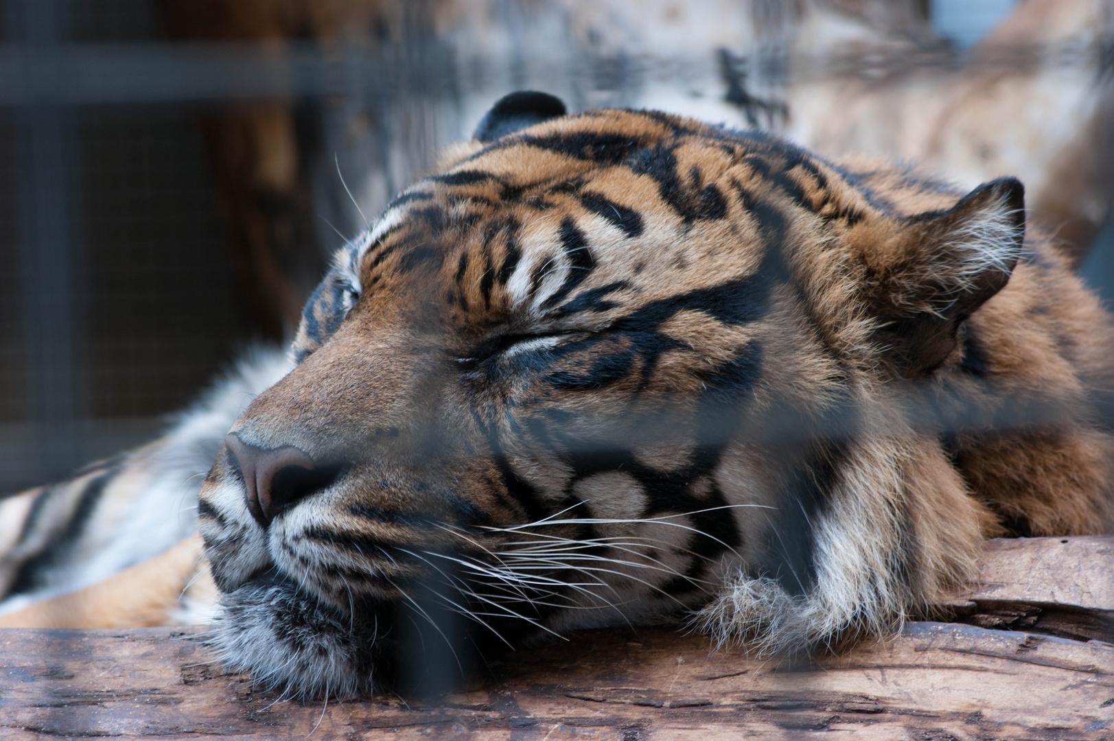 Wilhelma Tiger