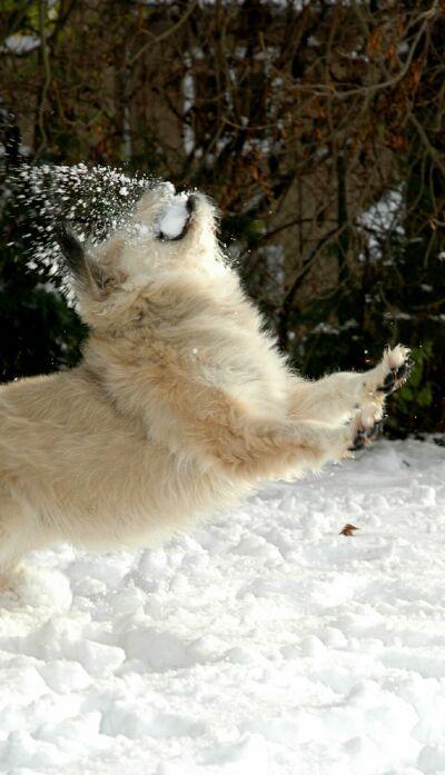 Willi beim Schneeball fangen :-)