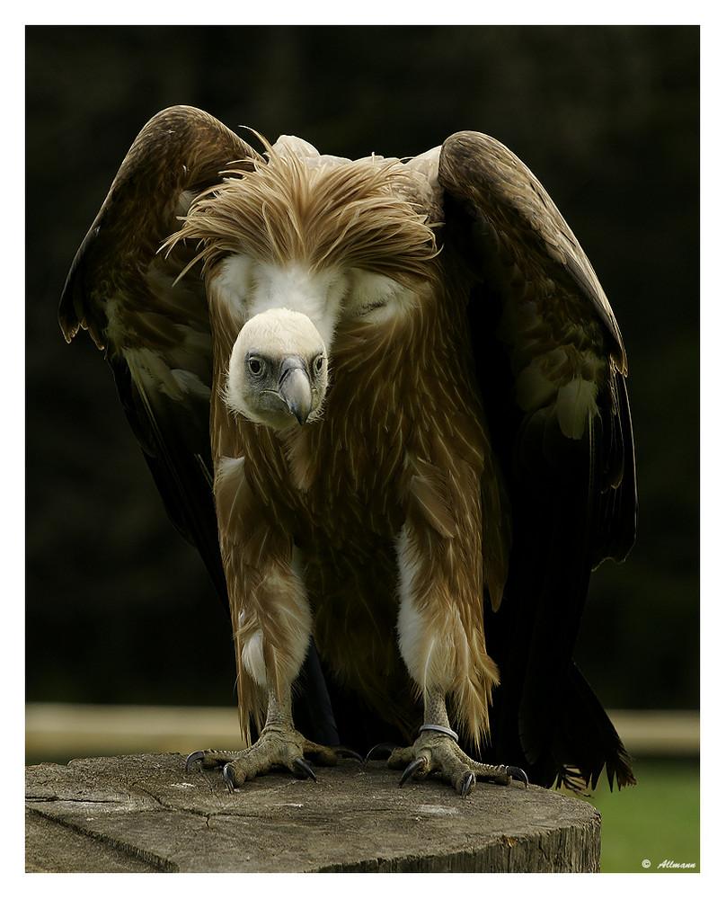 -Willi-the Vulture-